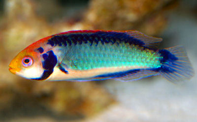 Red-eye/Redhead Fairy Wrasse (Cirhilabrus Solorensis)